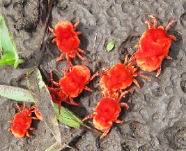 Red Velvet Insects